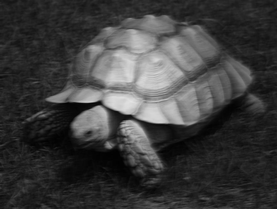 En sköldpadde